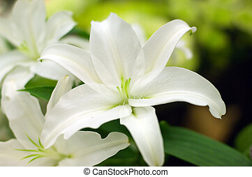 White lilly background