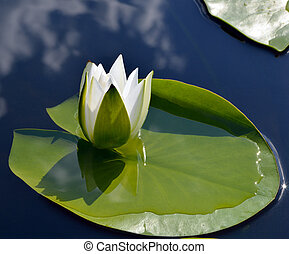 White lily against the blue water