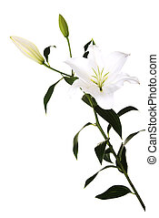 White lily and a bud