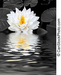 Abstract reflection of a white lotus lily with yellow stamens in full flower in a pond in summer. (Gladstoniana genus). Desaturated background.