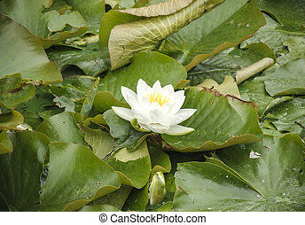 white lily floating on water