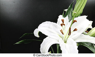 White lily flower blooming on black background