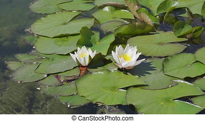 White lily flower in the water with green leaves on a lake.