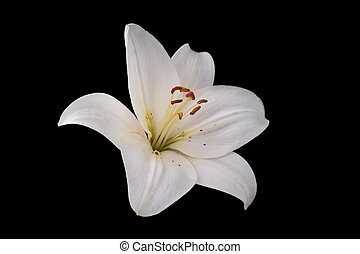 White lily flower on black background