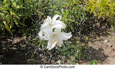 White lily flower - pour water.