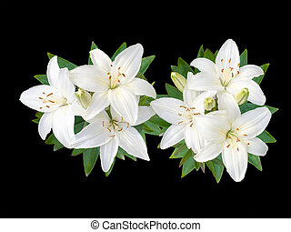 White Lily flowers - White Lily flowers isolated on black...