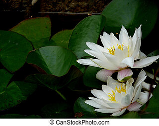 White lily in a pond.
