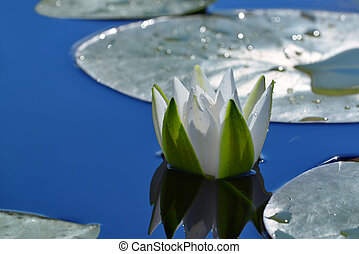 White Lily in a pond