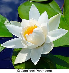 White lily in the blue water