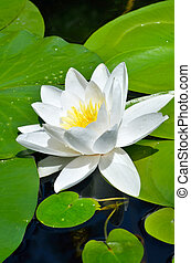 White Lily in the pond.