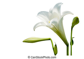 White lily - Isolated wild white lily with white background