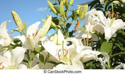 White lily. Motion camera in color with white lily on the...