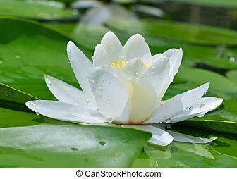 White lily on a lake
