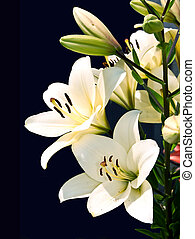 White lily on black background.