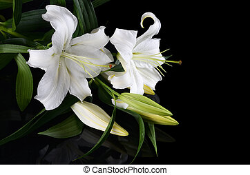 White lily on black background