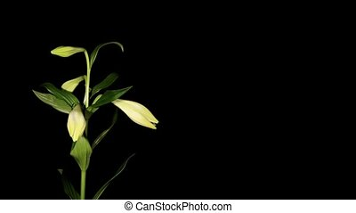 White lily on the black background