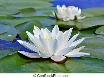 White lily on the lake