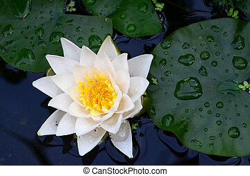 Photo of a white lily on the water. Nature photography. Taken in Germany, Babenhausen.