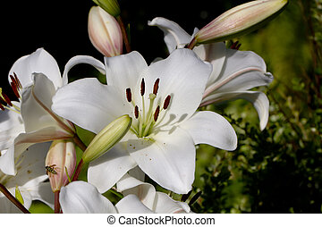 White lily. Pestles and stamens.