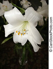 white lily against a dark background