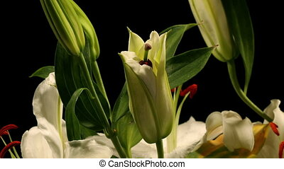White Lily Timelapse - Time-lapse of white lily flowers...