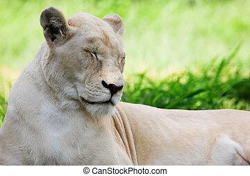 White Lion #1 - Dozing white lion (Panthera Leo), South ...