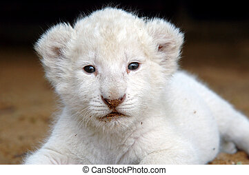 White lion cub - The very rare white lion cub