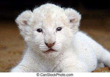 The very rare white lion cub