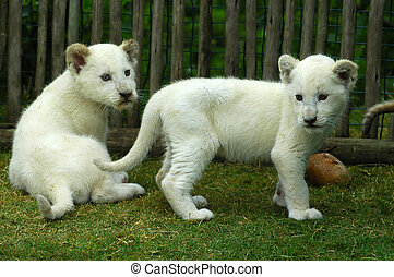 White lion cubs - Two rare white lion cubs watching other...