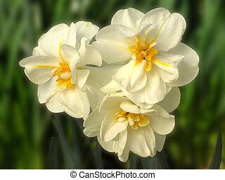 White Lion Daffodil close up