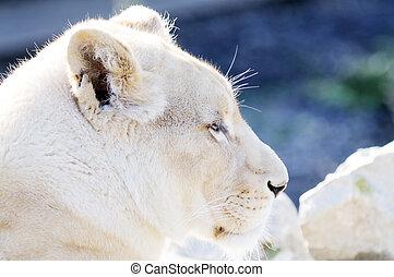 White lion female profile