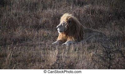 White lion in pride in African savannah