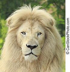 White Lion portrait