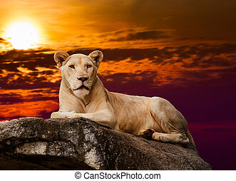 portrait of lioness. Lioness lying on rock