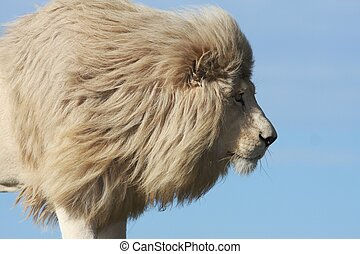 Handsome male white lion watching it's prey intently