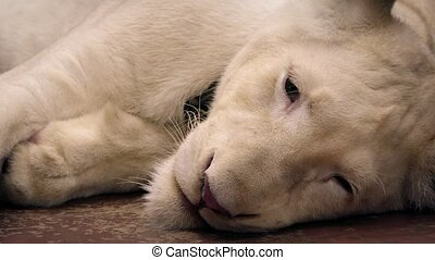 White Lion Resting On Floor - Albino white lion lies on the...