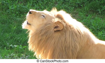 Close-up of White Lion roaring.