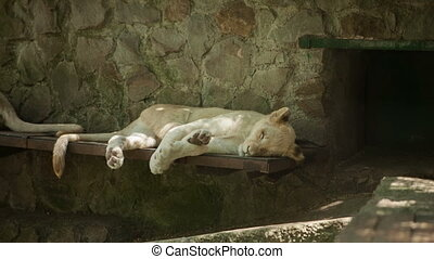 White lion sleeping on the side of the zoo day