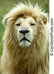 White lion - A rare white lion male head portrait with a big...