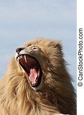 White Lion Teeth