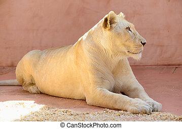 White lioness animals