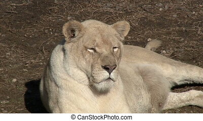 White Lioness In The Nature