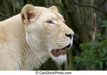White lioness portrait