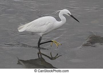 White little egret - Beautiful white little egret. Douro ...