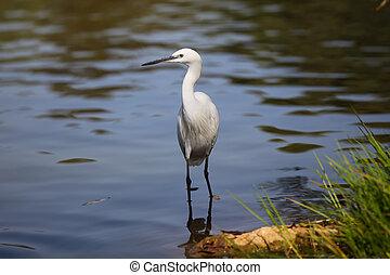 White Little egret (Egretta garzetta), standing in water and...