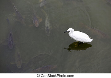 White little egret standing in water and looking for food