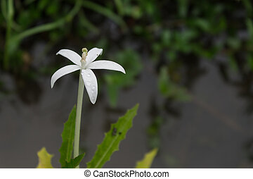 White little flower on water and grass background