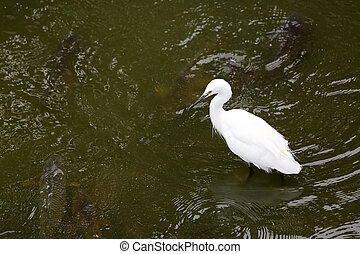 White little heron - White little egret standing in water ...