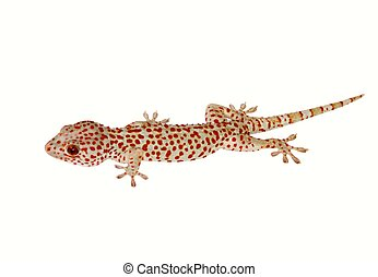 White lizard - Foto-object isolated