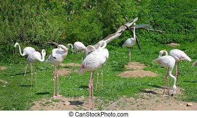 White long-legged flamingos in sunny day - Group of flamingo...